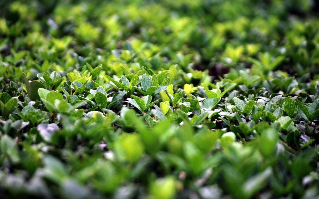Species Spotlight: Boxwood (Buxus)