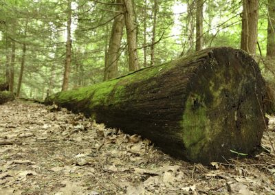 Fallen Timber along the Forest Trail