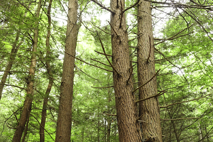 Hemlock along the Forest Trail