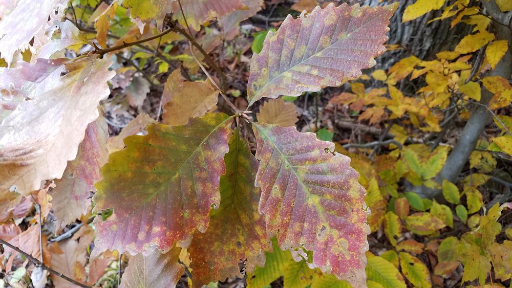 Species Spotlight: Chestnut Oak